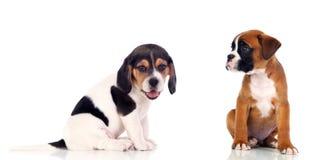 Dois filhotes de cachorro bonitos Imagens de Stock