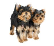 Dois filhotes de cachorro bonitos imagem de stock