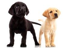 Dois filhotes de cachorro bonitos de Labrador Fotografia de Stock
