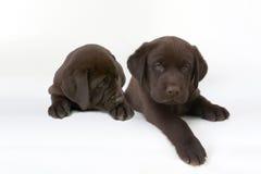 dois filhotes de cachorro bonitos do retriever de Labrador do chocolate imagem de stock royalty free