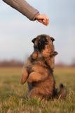 Dois filhotes de cachorro bonitos que longing para um deleite imagem de stock royalty free