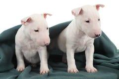Dois filhotes de cachorro brancos do terrier de touro Fotografia de Stock Royalty Free