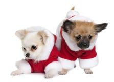 Dois filhotes de cachorro da chihuahua em ternos de Papai Noel Fotos de Stock Royalty Free