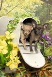 Dois filhotes de cachorro da chihuahua em uma caixa postal Fotos de Stock Royalty Free