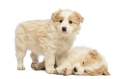Dois filhotes de cachorro de border collie, 6 semanas velhos, uma são de encontro e dormir e o outro estão estando e estão olhando Fotografia de Stock