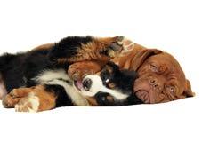 Dois filhotes de cachorro de jogo. Fotografia de Stock Royalty Free