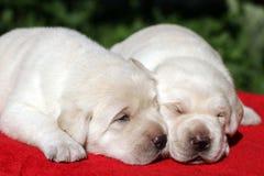 Dois filhotes de cachorro de Labrador Fotografia de Stock Royalty Free
