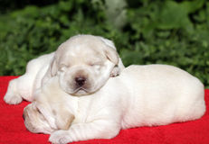 Dois filhotes de cachorro de Labrador no vermelho Fotografia de Stock