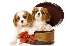 Dois filhotes de cachorro descuidados do Spaniel de rei Charles Fotografia de Stock