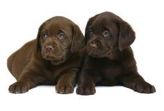 Dois filhotes de cachorro do chocolate. Fotografia de Stock Royalty Free