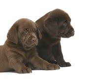 Dois filhotes de cachorro do chocolate. Fotos de Stock
