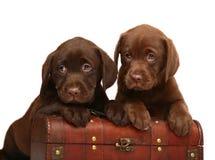 Dois filhotes de cachorro do chocolate com um tronco de madeira. Fotografia de Stock