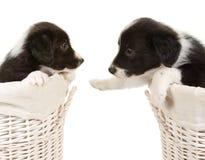 Dois filhotes de cachorro do collie de beira imagens de stock