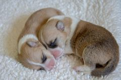 Dois filhotes de cachorro do Corgi Fotografia de Stock
