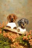 Dois filhotes de cachorro do Dachshund em uma cadeira de vime Fotos de Stock Royalty Free