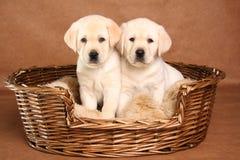 Dois filhotes de cachorro do laboratório Fotos de Stock Royalty Free