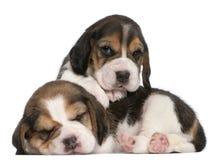 Dois filhotes de cachorro do lebreiro, 1 mês velhos Fotografia de Stock