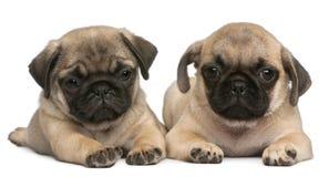 Dois filhotes de cachorro do Pug, 8 semanas velhos, na frente do branco Fotografia de Stock Royalty Free
