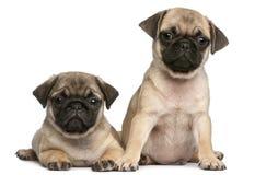 Dois filhotes de cachorro do Pug, 8 semanas velhos, na frente do branco Imagens de Stock