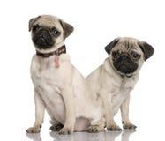 Dois filhotes de cachorro do pug, na frente do fundo branco fotos de stock royalty free