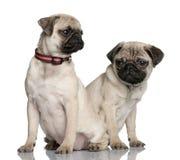 Dois filhotes de cachorro do pug que sentam-se e que olham afastado Fotos de Stock Royalty Free