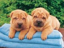 Dois filhotes de cachorro do sharpei Fotos de Stock Royalty Free