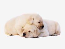 Dois filhotes de cachorro do sono. Fotografia de Stock Royalty Free