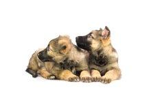 Dois filhotes de cachorro doces do sheep-dog de Alemanha Imagens de Stock Royalty Free