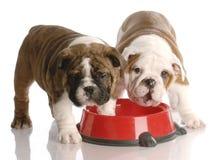 Dois filhotes de cachorro em um prato do alimento de cão Foto de Stock