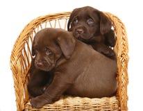 Dois filhotes de cachorro em uma cadeira de vime. Fotografia de Stock
