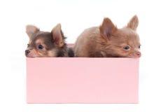 Dois filhotes de cachorro em uma caixa Fotografia de Stock