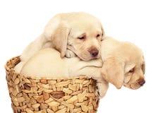 Dois filhotes de cachorro em uma cesta. Fotografia de Stock Royalty Free