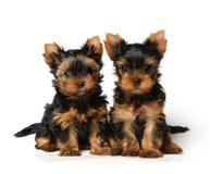 Dois filhotes de cachorro encantadores de yorkshire Imagens de Stock
