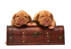 Dois filhotes de cachorro estão em um tronco. Foto de Stock Royalty Free