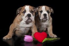 Dois filhotes de cachorro ingleses do buldogue Imagens de Stock Royalty Free
