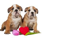 Dois filhotes de cachorro ingleses do buldogue Foto de Stock