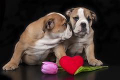 Dois filhotes de cachorro ingleses do buldogue Imagens de Stock
