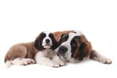 Dois filhotes de cachorro Loving junto o de Bernard de Saint Imagens de Stock Royalty Free
