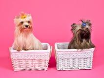 Dois filhotes de cachorro menina e menino dentro das cestas Foto de Stock