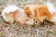Dois filhotes de cachorro no prado fotografia de stock royalty free