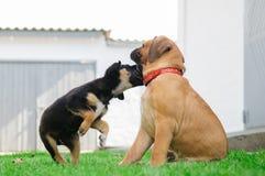Dois filhotes de cachorro pequenos Fotografia de Stock