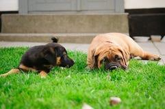 Dois filhotes de cachorro pequenos Fotos de Stock
