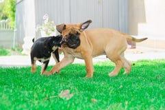 Dois filhotes de cachorro pequenos Imagens de Stock Royalty Free
