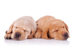 Dois filhotes de cachorro tired do retriever de Labrador Foto de Stock Royalty Free