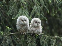 Dois filhotes de coruja que empoleiram-se no ramo de árvore Fotografia de Stock Royalty Free