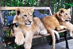 Dois filhotes de leão Imagem de Stock