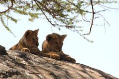 Dois filhotes de leão em uma rocha Fotografia de Stock Royalty Free