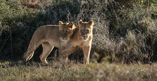 Dois filhotes de leão que jogam em Addo Elephant Park Fotografia de Stock
