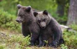 Dois filhotes de urso Fotos de Stock Royalty Free