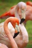 Dois flamingos Imagem de Stock Royalty Free
